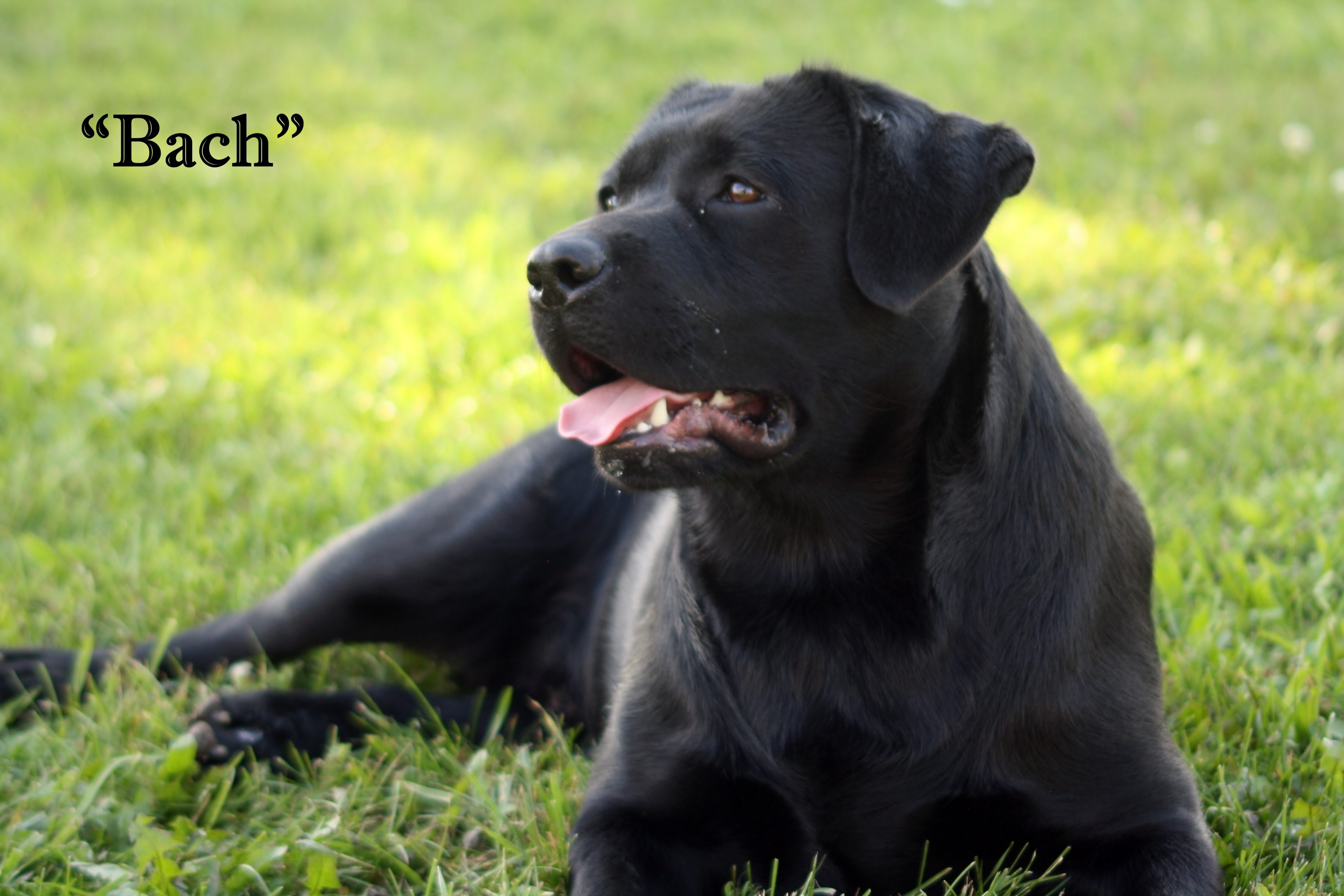 Michigan Elite Labradors | bach